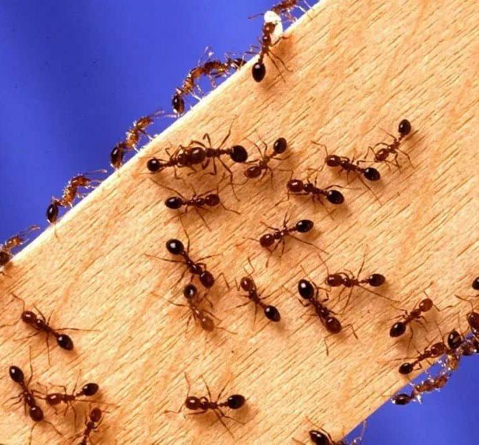 муравьи1